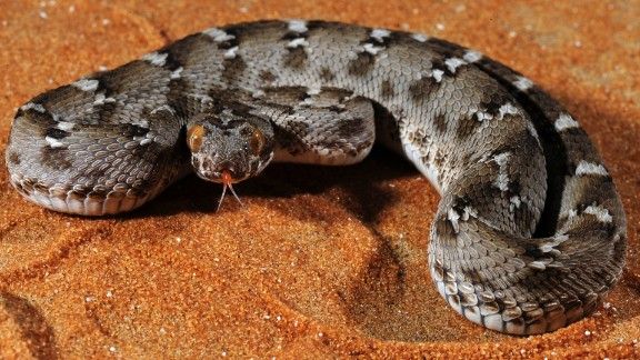 A toxin isolated from saw-scaled viper venom served as the template for the drug tirofiban, used in the treatment of myocardial infarction. The snake is found in the Middle East and the Indian subcontinent.