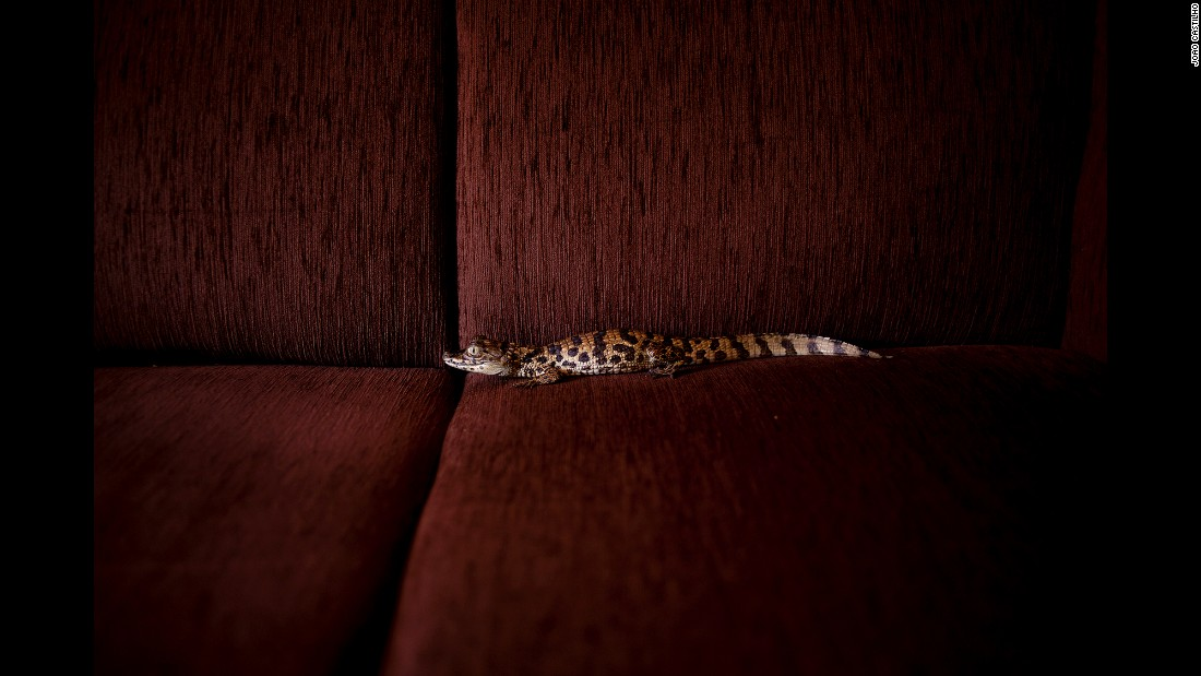 "A baby alligator was one of the wild animals photographed in Joao Castilho's ""Zoo"" series. All of the animals were photographed in homes. ""I wanted to shuffle positions and boundaries that sometimes are too rigid,"" Castilho said."