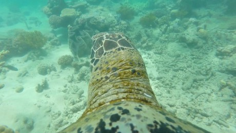 go pro turtle australia reef swimming orig_00010219.jpg