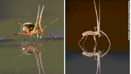 Many spiders can sail great distances over water, using legs or abdomens as sails