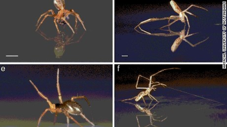 Some spiders use multiple skills to sail over water