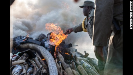 The tusks siezed were expected to burn for 24 hours.