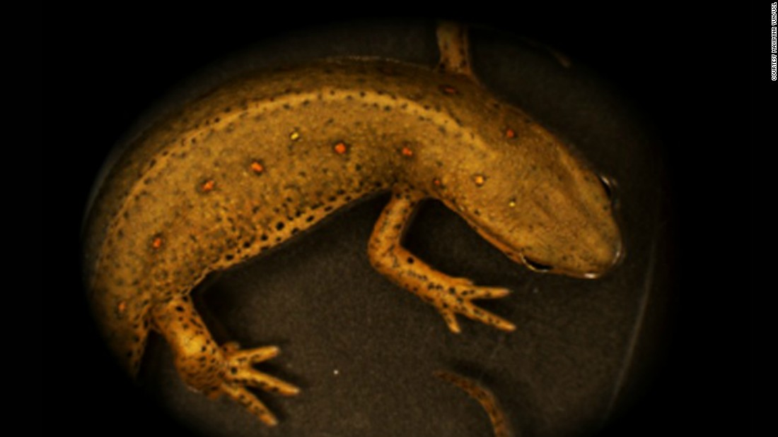 Salamanders, such as the red spotted newt, can regrow an impressive range of body parts, including full limbs. Maximina Yun at University College London is studying their abilities to explore the potential to apply this to humans.