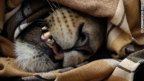A sedated, blindfolded lion lays in the dirt in Phinda Private Game Reserve, South Africa, Monday, June 29, 2015.