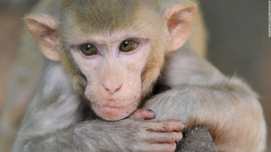 Researchers at Massachusetts General Hospital have used human cells to regenerate the arm of a macaque monkey. The aim is to one day grow human arms for transplantation.
