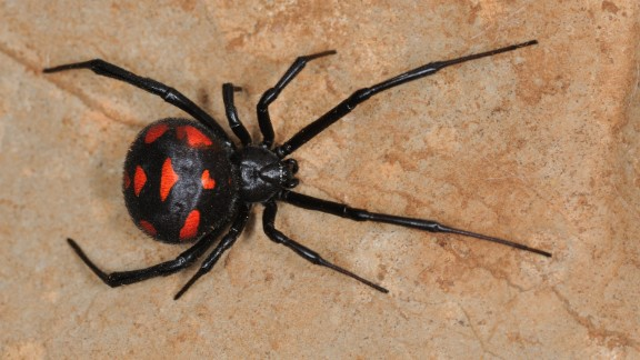 The black widow's bite releases venom that causes chest pain and muscle cramps, which can usually be remedied with anti-venom or muscle relaxant.