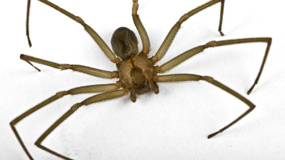 A brown recluse