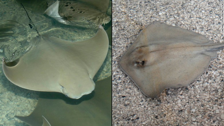 54 stingrays die at Chicago's Brookfield Zoo