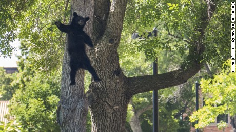 This bear was not hurt from its fall after it was tranquilized in Boulder, Colorado, and authorities planned to take it to the mountains.
