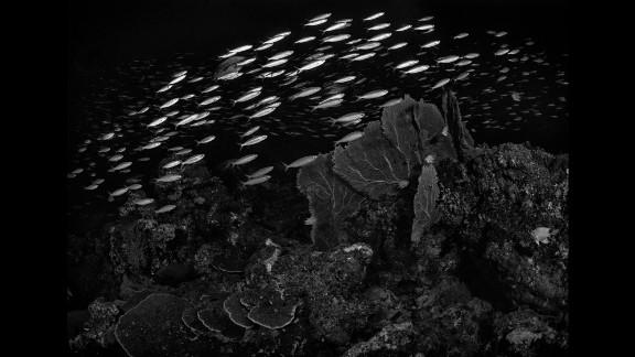 Fusiliers swim past gorgonians off Thailand's Similan Islands.