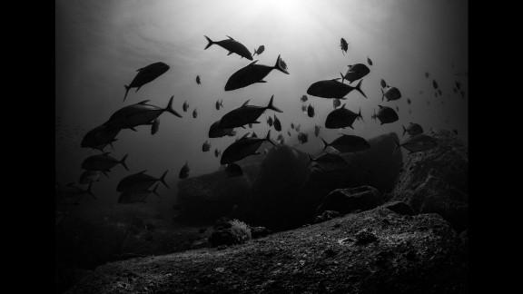 Bigeye trevallies hunt at sunset among shallow rocky coral.