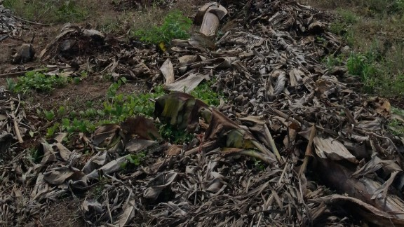 So far, the disease in Africa seems to be contained to just two banana plantations in Mozambique, one of which is pictured here.