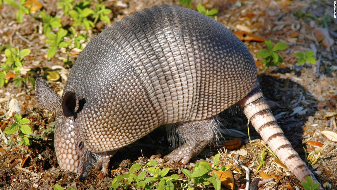 Some armadillos are naturally infected with leprosy, also known as Hansen's disease, according to the Centers for Disease Control and Prevention. It is possible, though unlikely, for humans to catch the disease from armadillos.