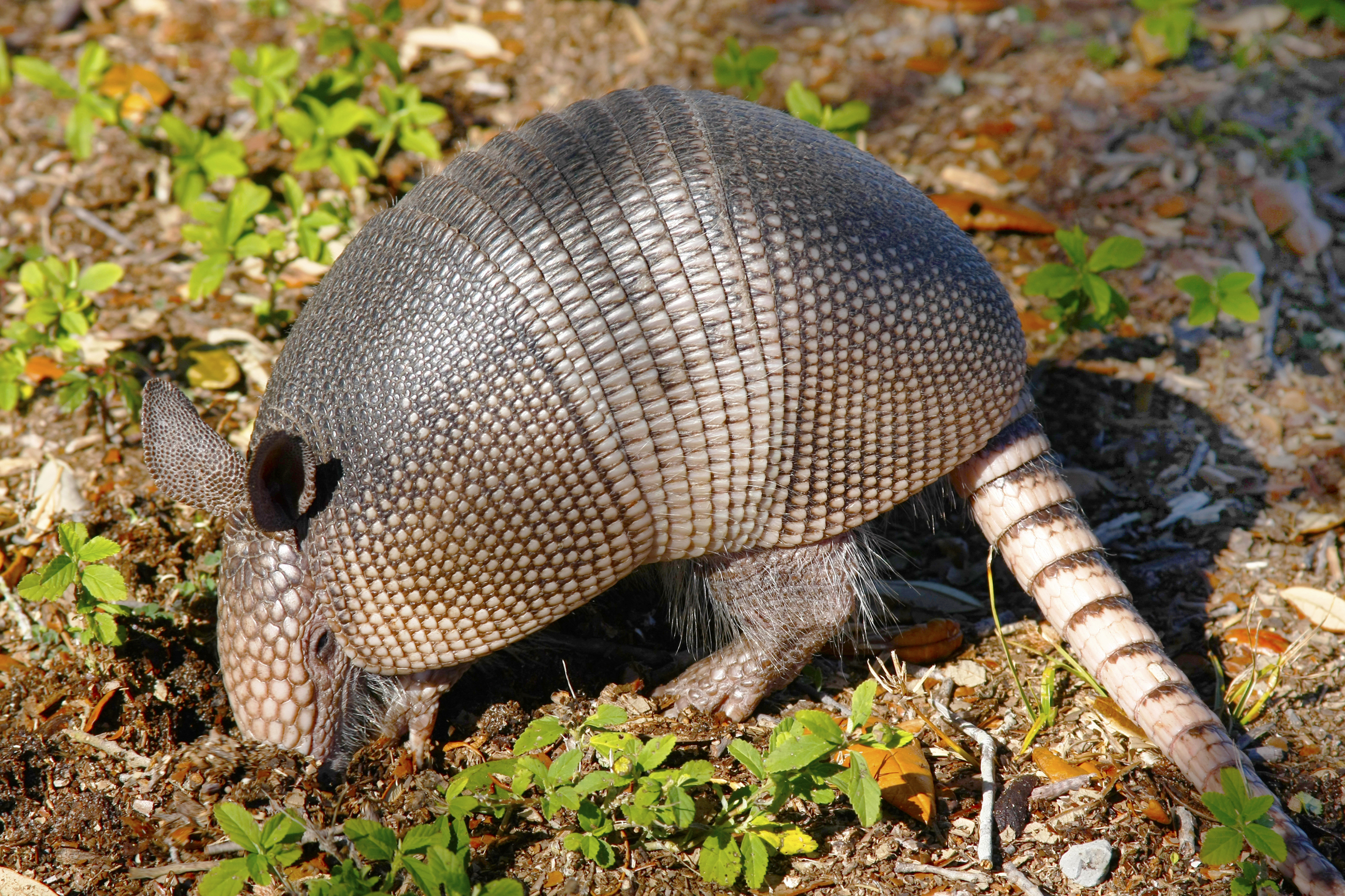 ARMADILLO DETAILED LITTLE ARMORED ONE SHELL WEARING COOKIE CUTTER USA PR2138
