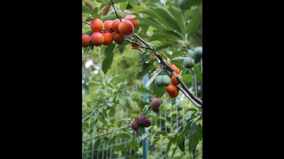 Stone fruits are fruits with pits. Van Aken grows peaches, apricots, plums, cherries, nectarines and almonds.