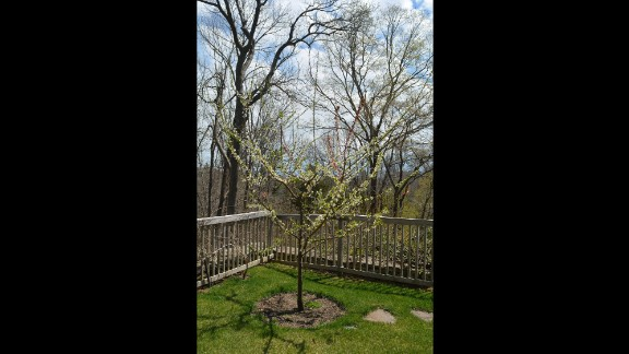The tree's rootstock is chosen to survive in the climate where the tree will be planted. Different varieties of stone fruit are then grafted onto the tree.