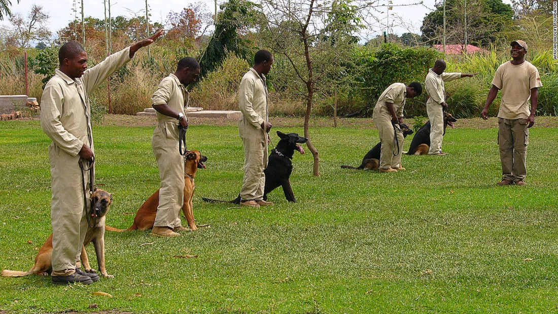 Handlers that demonstrated empathy for animals and a strong commitment to conservation were selected from the ranks of Kenya Wildlife Service and Tanzania's Wildlife Division to undergo training as part of AWF's Conservation Canine Program. Dogs first begin training with a dog toy, called a Kong, which has a neutral odor, before ivory is introduced. They then learn to detect small pieces of ivory, larger elephant tusks and even ivory dust.