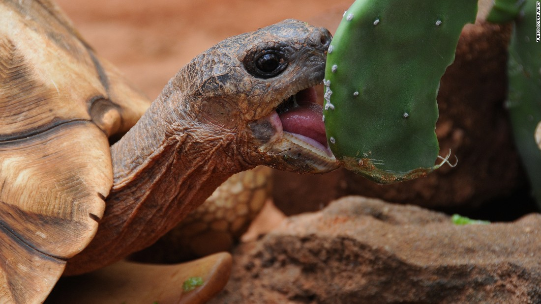 The process of carving into the tortoises' shells is not too invasive, according to conservationists, as the keratin is thick enough to withstand the procedure.