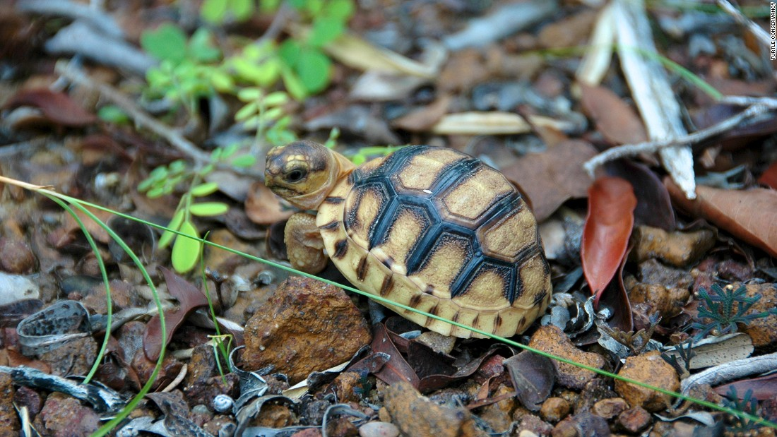 But for young tortoises and hatchlings (the easiest targets for poachers), carving into the shell would be a painful procedure. As a result, conservationists are looking into tattooing these animals instead.