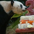 jia jia oldest panda birthday 1