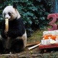 jia jia oldest panda birthday 2