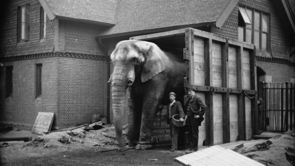 Jumbo the elephant was among the most famous beasts of the 19th century, so popular that his name became synonymous with bigness. After being captured in India and spending a few years in Europe, the elephant was purchased by P.T. Barnum and became the centerpiece of Barnum
