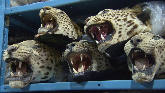 Recovered animal heads at the Wildlife Repository for the U.S. Fish and Wildlife Service in Denver, Colo. on June 4, 2015.