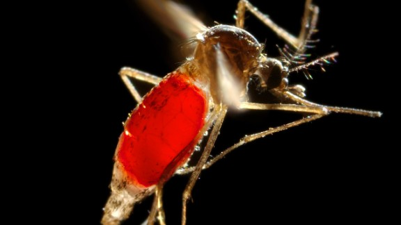 The Aedes mosquito is an aggressive biter, especially during the day.
