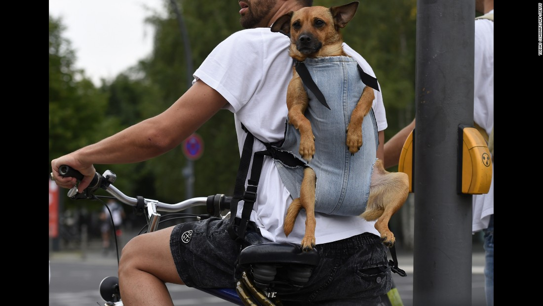 Is your dog so exuberant on walks you worry she might one day pull your arm off? If so, try letting her keep up with you as you pedal. Or, like this cyclist, your dog can just enjoy the ride.