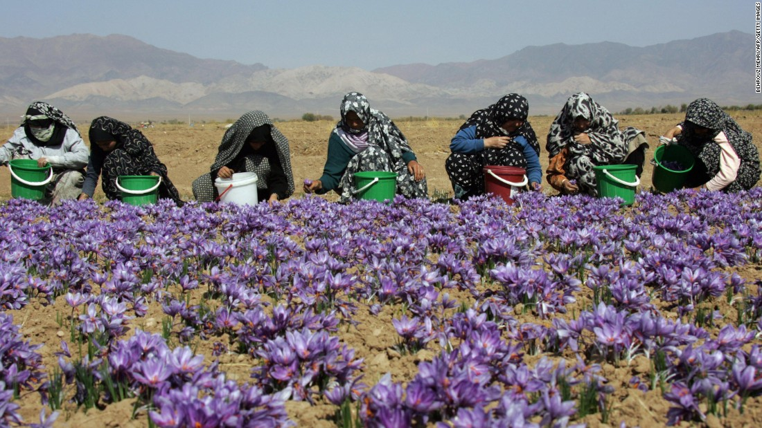 Saffron pickers in Masshad, Iran, the hub of the global industry.