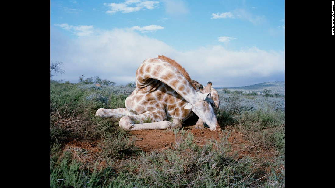 Fallen giraffe, South Africa.