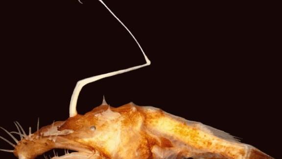 "The new species of Ceratioid anglerfish lives in dark ocean depths nicknamed the ""midnight zone"""