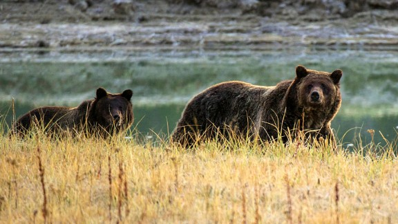 A grizzly bear mother and her cub walk near Pelican Creek in 2012 in Yellowstone National Park.