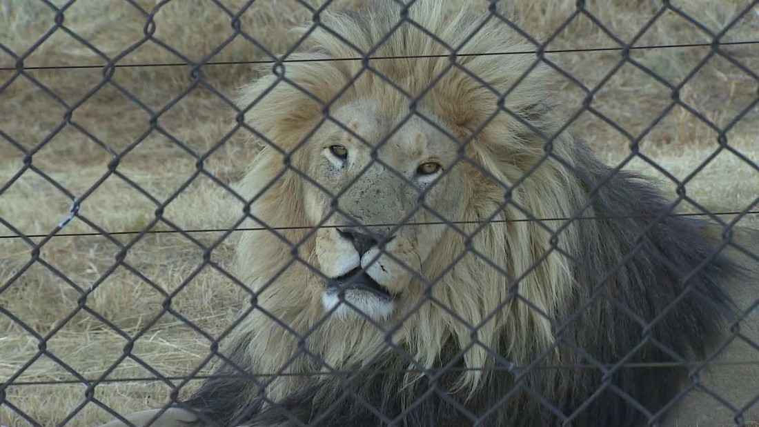 Image of: Trophy Hunting Ending Trophy Hunting Could Actually Be Worse For Endangered Species Cnn Cnncom Ending Trophy Hunting Could Actually Be Worse For Endangered Species