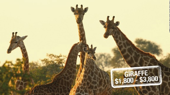 Earth's tallest mammal can run as fast as 35 miles (56 kilometers) an hour over short distances. But that's unlikely to deter a hunting enthusiast. Giraffes can be shot down for $3,800 in South Africa, $3,200 in Zimbabwe or $1,800 in Namibia.  The International Union for Conservation of Nature and Natural Resources (IUCN) warns that recent declines may mean that the species will be moved up to a higher category of threat.