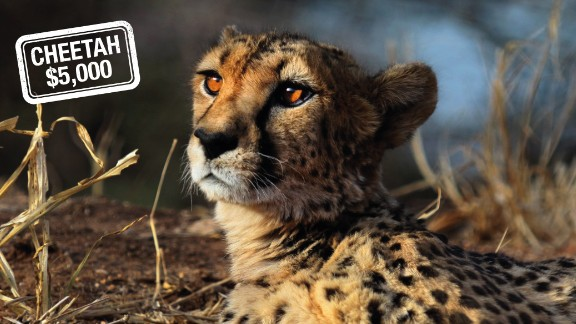 Hunting the cheetah can cost $5,000 in Namibia -- but only if he or she can catch up with the world's fastest land mammal, which can go from 0 to 60 miles (96 km) an hour in just three seconds.   According to the IUCN Red List of Threatened Species, the cheetah is critically endangered.