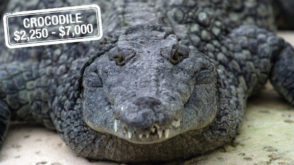 "With a carefully chosen rifle, bullet and a fee of up to $7000, a hunter is able to add this reptile to their trophy room. The Nile crocodile found in Africa is not considered to be endangered, although it may be threatened in certain areas.  The trophy hunting of ""problem"" saltwater crocodiles may also be legalized in Australia within a year, with hunters paying fees ranging from $20,000 to $30,000."