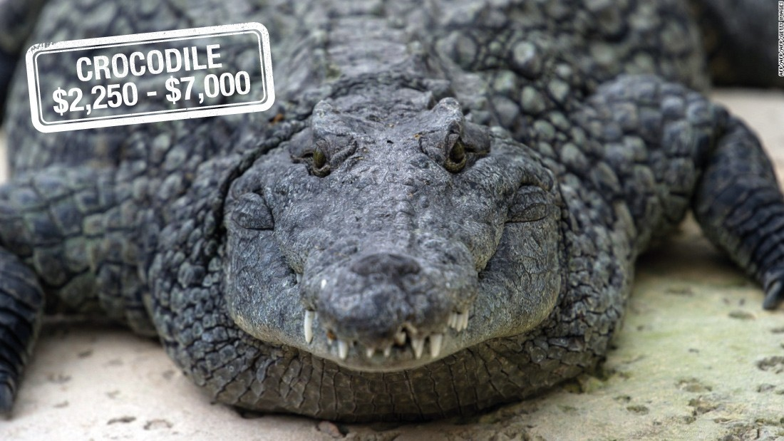 "With a carefully chosen rifle, bullet and a fee of up to $7000, a hunter is able to add this reptile to their trophy room. The Nile crocodile found in Africa is <a href=""http://www.iucnredlist.org/details/46590/0"" target=""_blank"">not considered to be endangered</a>, although it may be threatened in certain areas.<br />The trophy hunting of ""problem"" saltwater crocodiles may also be<a href=""http://www.abc.net.au/news/2015-06-23/saltwater-crocodile-safari-hunting-could-happen-in-one-year/6565132"" target=""_blank""> legalized in Australia within a year,</a> with hunters paying fees ranging from $20,000 to $30,000."