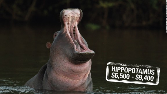 Branded as the most dangerous animal in Africa, this semi-aquatic giant is hunted for $6,500 in Zimbabwe or $9,400 in South Africa. The common hippo found in sub-Saharan Africa is categorized as vulnerable, whereas the smaller pygmy hippopotamus is considered endangered.