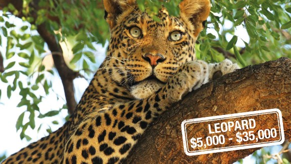 The cost to hunt this near-threatened, elusive big cat begins at $5,000, with some companies offering a guaranteed kill for a $35,000 price tag.