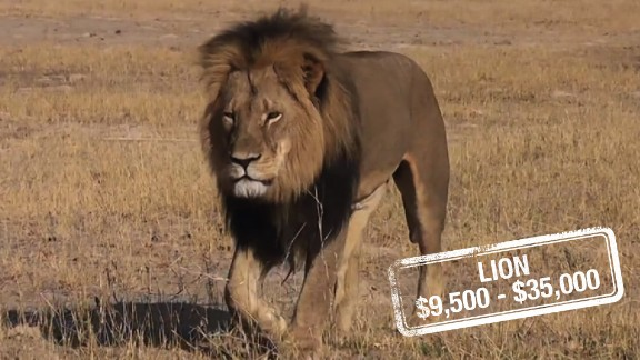 The cost to kill a lioness can be up to $9,500 in South Africa, whereas a lion can set a hunter back $23,000, $30,000 for a white lion or $35,000 for a black mane lion, similar to Cecil. It's unclear what Walter Palmer's $55,000 payment may have included.  According to the Global White Lion Protection Trust, there are hundreds of white lions in captivity, but less than 13 in the wild. And there are no laws to stop them being hunted.  Although lions are not listed as endangered, it's claimed by certain wildlife activists that their numbers are in serious decline in West Africa.