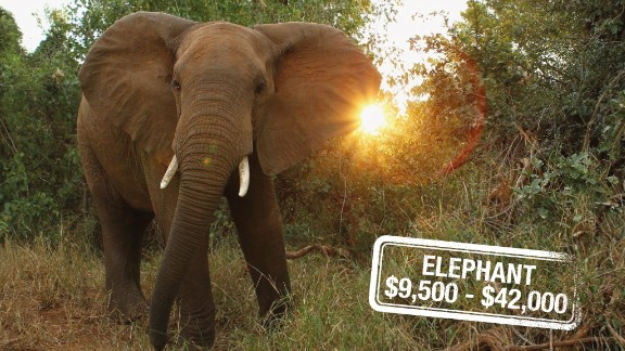 Poaching, habitat destruction, human-animal conflict, war and an overwhelming demand for ivory have in Asia have all contributed to the disappearance of elephants, categorized as vulnerable. And it can cost $42,000 to hunt and kill the largest land mammal on Earth or $9,500 for a non-trophy elephant in Zimbabwe.