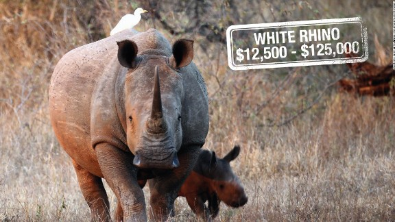 It can cost up to $125,000 to hunt down a white rhino in South Africa. Classified as near threatened, white rhinos are not considered endangered. However, there are reportedly only four northern white rhinos left in the world, their numbers slashed by poaching for their prized horns.