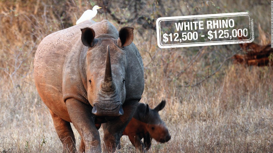 "It can cost up to $125,000 to hunt down a white rhino in South Africa. Classified as <a href=""http://www.iucnredlist.org/details/4185/0https:/www.worldwildlife.org/species/white-rhino"" target=""_blank"">near threatened,</a> white rhinos are not considered endangered. However, there are reportedly only<a href=""http://edition.cnn.com/2015/07/29/world/northern-rhino-dies/""> four northern white rhinos</a> left in the world, their numbers slashed by poaching for their prized horns."
