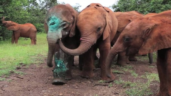 baby elephant simotua survives poachers_00014210.jpg
