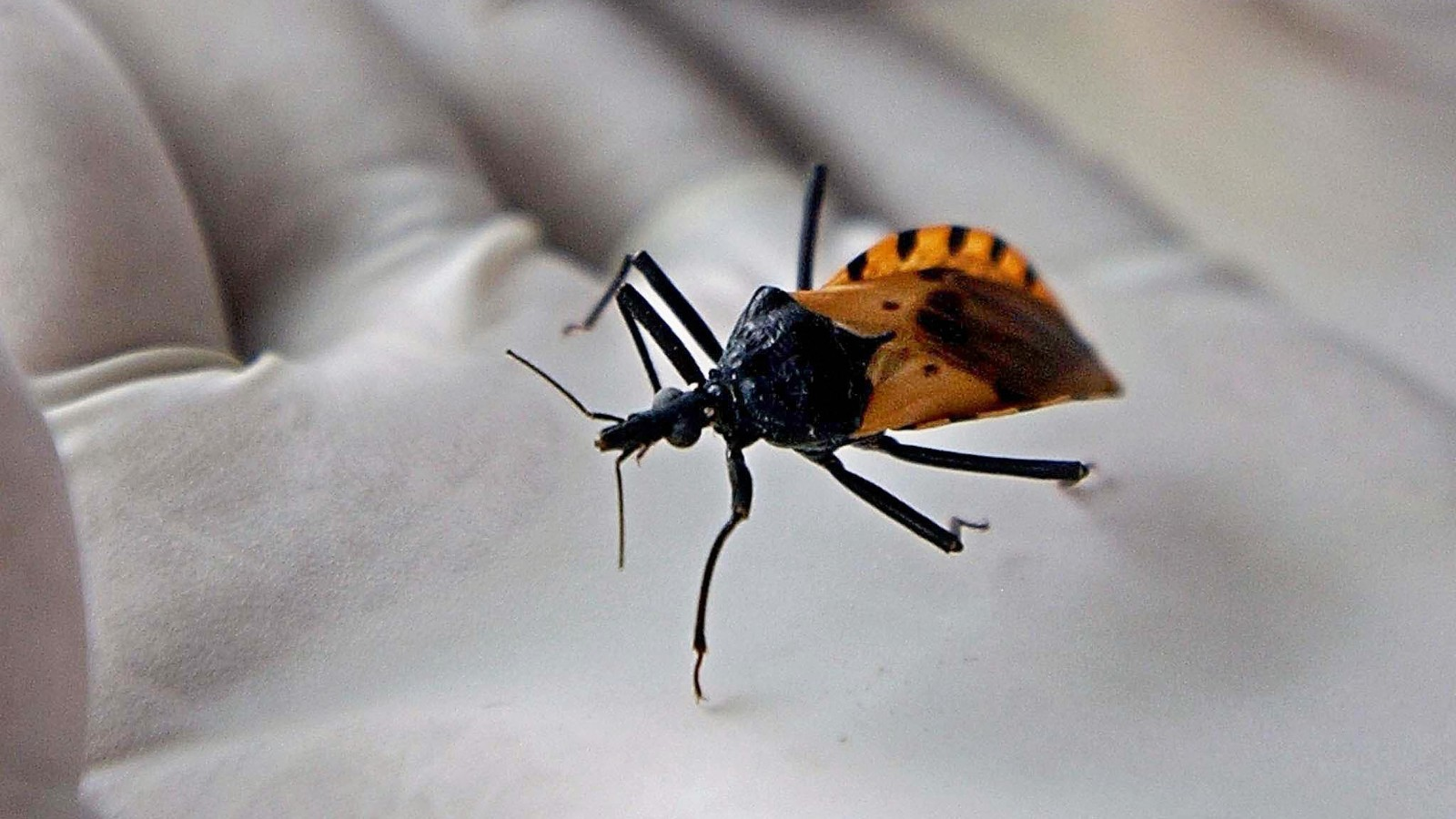 Kissing bug' disease more deadly than thought - CNN