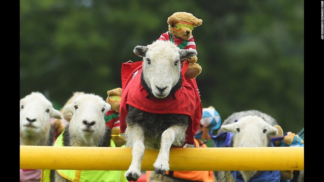 A Herdwick sheep from the Lamb National team jumps a fence during the launch of the International Agility Festival on Thursday, August 13, at Rockingham Castle near Market Harborough, England.