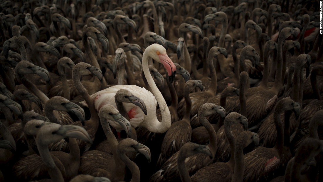 Flamingos are readying to be fitted with identity rings at Spain's Fuente de Piedra natural reserve on Saturday, August 8. Around 600 flamingo chicks were tagged and measured before being placed in the lagoon.