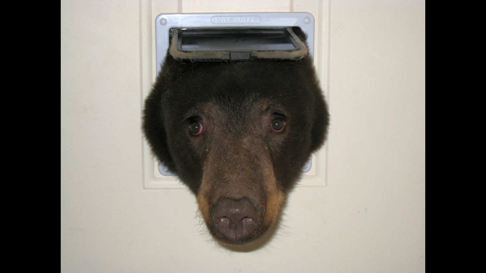 Bear Cub Tries To Wriggle Into Home Through Cat Door Cnn