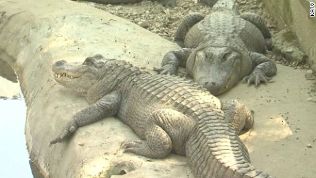 13 baby alligators stolen from petting zoo pkg_00001014